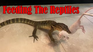 Feeding Rats To Giant Lizards and Snakes