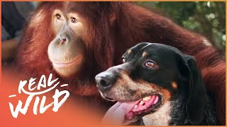 Oddest Friendships Between Animals | Animal Odd Couples | Real Wild