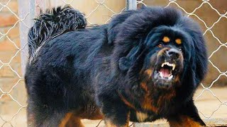 Most ILLEGAL Dog Breeds In The WORLD